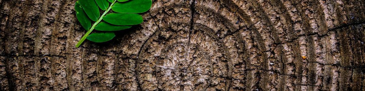 Et grønt blad på en træstub